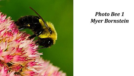 Myer Bornstein - Photo Bee 1