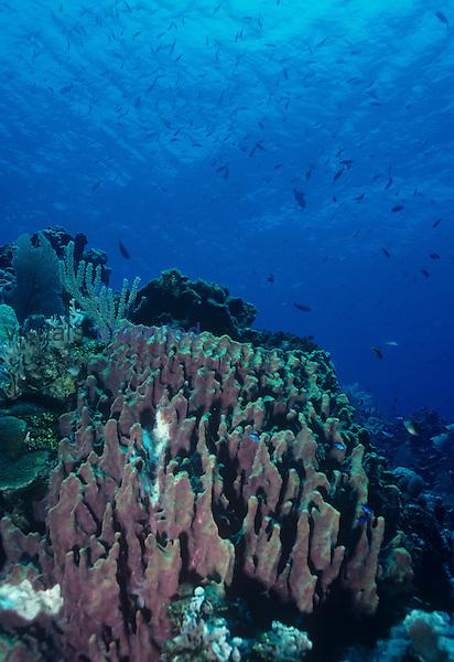 Giant Barrel Sponge spawning ,Xestospongia,, Phylum Porifera, Caribbean.