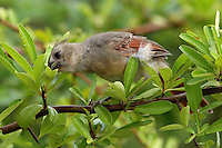 Juvenile Cardinal licking drops of moisture from a firethorn shrub..