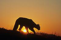 Cougar, Mountain lion (Puma concolor), adult at sunset, captive, USA