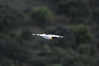 Egyptian Vulture (Neophron percnopterus), Monfrague National Park, Extremadura, Spain.