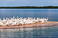 US, Florida. Ten Thousand Islands, Everglades. American White Pelicans on Indian Key.