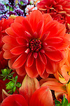Dahlia Flowers for sale at the Portland, Oregon Farmers' Market at Portland State University, the North Park Blocks