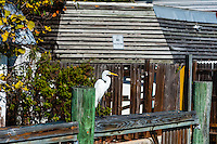 US, Florida, Key West. Great White Egret.