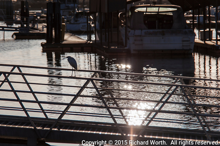 On slender legs, a Snowy egret stands in silhouette, perched on the railing of a walkway leading to berths at the San Leandro Marina, with late afternoon sun glistening on the harbor's waters.