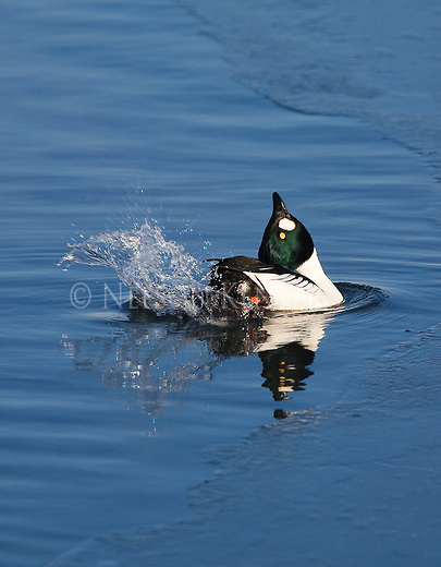 A Goldeneye Drake posturing in courtship display. Splashing water with feet as he dips his head back and up