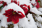 Silk poinsettia plant covered in fresh snow.