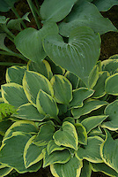Hosta 'Veronica Lake' + 'Rhapsody in Blue' at rear