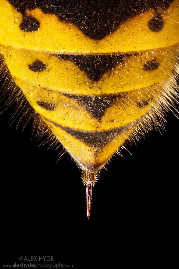 Sting of Common Wasp {Vespula vulgaris}, dead speciman. UK.