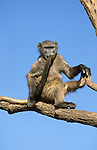 Chacma baboon, Papio cynocephalus ursinus, chewing tail, Kruger National Park, South Africa