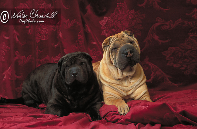 Shar-Pei<br />