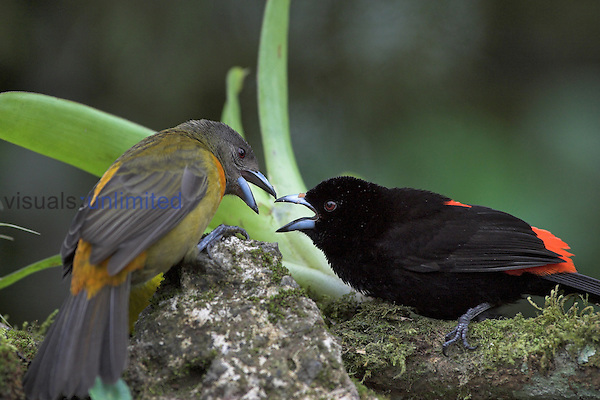 Scarlet-rumped Tanager (Ramphocelus passerinii) male (black and scarlet)and female (gray and orange), Costa Rica