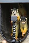Foto: VidiPhoto<br /> <br /> APELDOORN - In de Apenheul in Apeldoorn mochten de doodshoofdaapjes van het park donderdag voor het eerst naar buiten. Het is de bedoeling dat ze alvast wennen aan het buitenverblijf alvorens het publiek komt. De meeste aapjes vonden het echter nog te koud en gingen snel weer naar binnen. Maandag gaat de apentuin weer open voor het grote publiek. Vanaf 1 november vorig jaar hebben de apen binnen gezet. Het loslaten van de doodshoofdaapjes is voor de verzorgers het teken dat het nieuwe seizoen weer staat te beginnen. De Apenheul heeft op dit moment 67 doodshoofdaapjes, de helft van het aantal van vorig jaar. Een groot deel van deze publiekstrekkertjes is verhuisd naar andere dierentuinen omdat de groep te groot werd. Foto: Selfie.