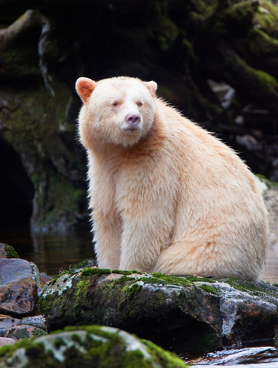 "Kermode ""Spirit"" Bear sitting on a mossy rock along a river"