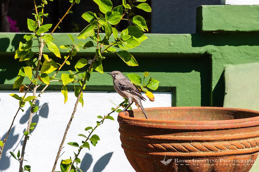 US, Florida, Key West. Ernest Hemingway Home. Northern Mockingbird.
