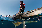 Local fishermen capturing a sea turtle Olive Ridley (Lepidochelys olivacea) for food.
