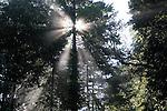 sun in coast redwoods at Big Basin SP