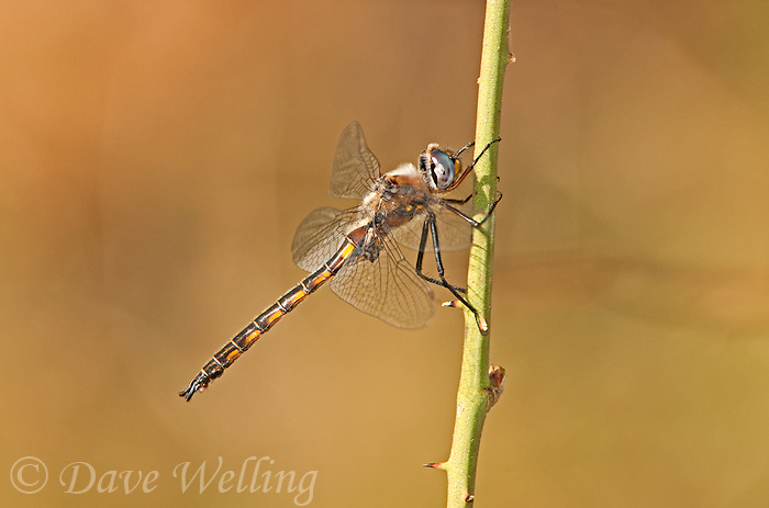 310880014 a wild male dot-winged baskettail dragonfly epitheca petechialis near caddo lake in marion county texas