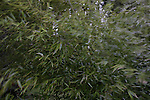 Golden Bamboo (Phyllostachys aurea) blows in a strong breeze.  ©2013. Jim Bryant Photo. ALL RIGHTS RESERVED.