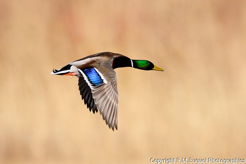 Mallard Drake in flight at Bosque Del Apache NWR