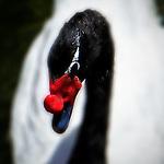 Swan 1, Irvine, CA