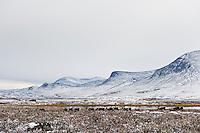Herd or reindeer in snowy landscape, Kungsleden trail, Lapland, Sweden