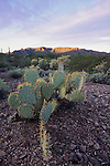 Engelmann's prickly pear (Opuntia engelmannii) at sunrise, Organ Pipe Cactus National Monument, Arizona