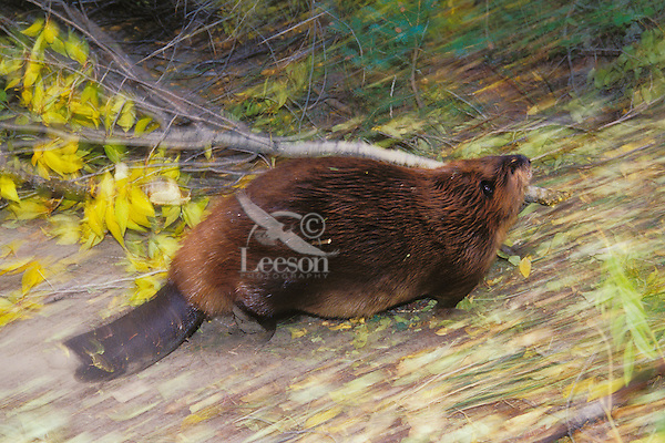 North American Beaver (Castor canadensis) carrying limb back to lodge area for winter food.  Western U.S., fall.