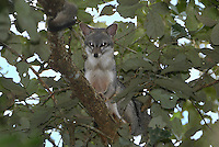 Gray Fox in a tree (Urocyon cinereoargenteus), Belize