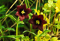 Chocolate Lily, St. Paul, Pribilof Islands, Alaska