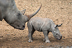 White rhino calf (Ceratotherium simum) cow with small calf, Mkhuze game reserve, KwaZulu-Natal, South Africa, May 2015