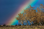 Rainbow over Aspens, Grand Teton National Park, Wyoming