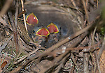 Nest of dark-eyed junco, Junco hyemalis, Point Reyes National Seashore, California