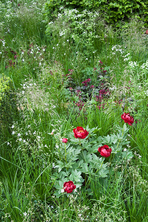 The Telegraph Garden,  designed by Christopher Bradley-Hole, Gold medal winner, RHS Chelsea Flower Show 2013. Plants include Anthriscus sylvestris, Cenolophium denudatum, Deschampsia cespitosa, Luzula nivea, Melica altissima 'Alba', Paeonia 'Buckeye Belle', Sesleria autumnalis.
