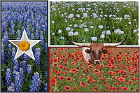 This image is a collage of scences, including bluebonnets, longhorns, Indian blankets, and poppies - all surrounded by the Texas flag.