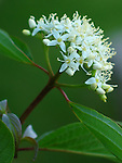 Dogwood Bush Bloom