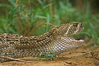 467010014 a large adult western diamondback rattlesnake crotal us atrox finishes eating a green jay cyanocorax yncas and you can just see the end of the tail feathers disappearing down its throat near a pond in the rio grande valley of south texas united states
