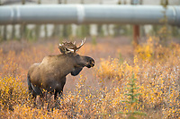 Bull moose in autumn tundra in the Brooks mountain range, Trans Alaska Oil Pipeline in the background.