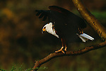 African fish eagle, Rift Valley, Kenya