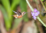 Female purple-throated woodstar, Calliphlox mitchellii. Tandayapa Valley, Ecuador