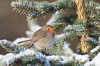 Rotkehlchen, aufgeplustert im Winter bei Schnee, Erithacus rubecula, robin