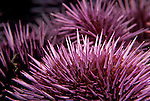 Santa Cruz Island, Channel Islands, California; Purple Sea Urchin (Strongylocentrotus purpuratus) , Copyright © Matthew Meier, matthewmeierphoto.com All Rights Reserved