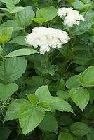 Viburnum dentatum shrub  in bloom in spring