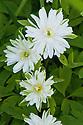 Wood anemone (Anemone nemorosa 'Bracteata Pleniflora'), mid April.