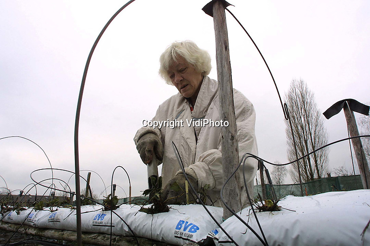 Foto: VidiPhoto..HERVELD - Voor aardbeienteelster mevrouw Veens uit Herveld is het nieuwe seizoen begonnen. De nieuwe aardbeienplanten komen op schragen zodat de aardbeien straks door haar -zittend op een wagentje- geplukt kunnen worden. Omdat plukken op zit- of sta-hoogte minder inspanning kost, gaan steeds meer telers over op dit systeem. Dit jaar experimenteert mevrouw Veens bovendien met twee soorten aardbeienplanten door elkaar, in de hoop dat dit een betere en mooiere oogst oplevert.