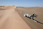 KUNENE, NAMIBIA - APRIL 29: A Dalmatian dog rests in the Sand Dunes at Skeleton Coast on April 29, 2008 in Kunene, Namibia. It participated in a 2-week survey with a walking safari with camels and a crew through 155 miles of proposed parkland through the savanna at Etosha National park, through rocky badlands, across the world's oldest desert, the Namib and the blinding dunes and fogy cliffs at Skeleton Coast on the Atlantic Ocean. (Photo by Per-Anders Pettersson/Getty Images)....
