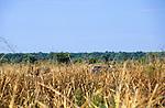 Tanzania. Tourist jeeps going cross-country in savanna grassland.