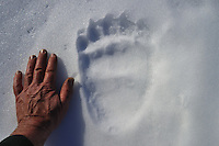 Bear,footprint in snow,hand,Sarek,Rapadalen,Bj&oslash;rnspor,Sverige,Sweden