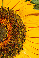 Sunflower, Graphic close-up of sunflower with petals and seeds.