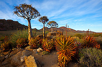 Quiver trees and aloe   Goegap Nature Reserve, South Africa  Namaqualand Region  Aloe dichotoma   and aloe sp.